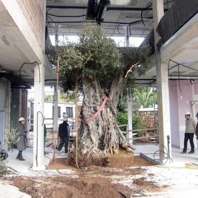 plantaccion de olivo