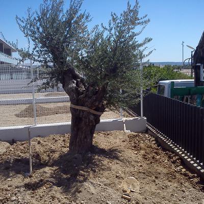 Plantación de olivo milenario