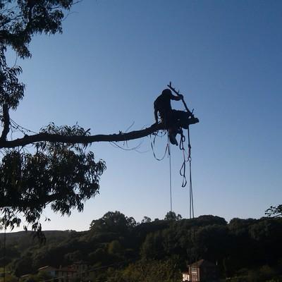 poda de eucalipto centenario