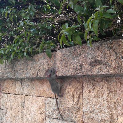 Sistema Ecologico para la captura de roedores