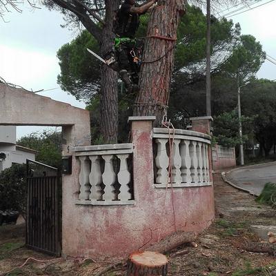 Tala controlada Pinus pinea