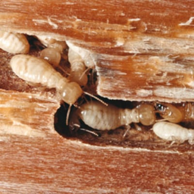 galerias termitas
