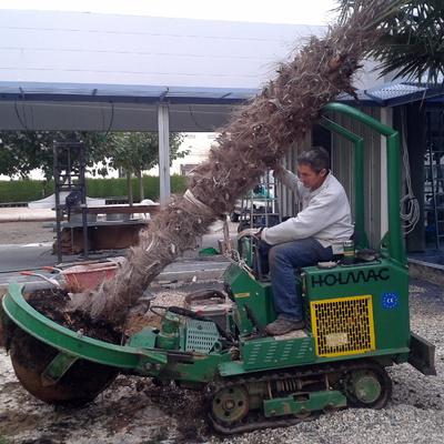 Trasplantament de palmera