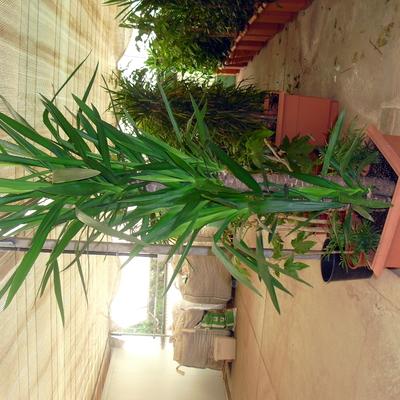 Yucca (no pincha)
