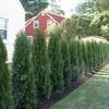 Poda de un arbusto pruno