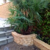 Replantación de palmera