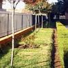 Plantación árbol Tipuana