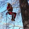 Podar pino grande