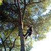 Tala y poda de pinos