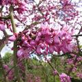 flores detalle del Cercis