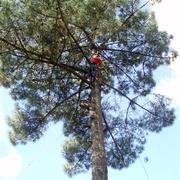 Tala de un pino de grandes dimensiones