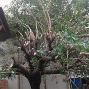 Distribuidores Honda - Talar un árbol. Morera grande 25 años