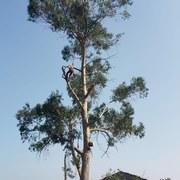 Tala en altura de un eucalipto