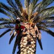 Escalando la palmera