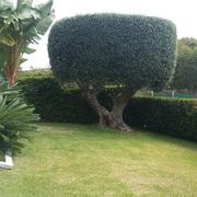 Mantenimiento Jardín ( Olivo )