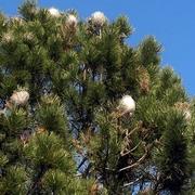 Pino replet de nidos