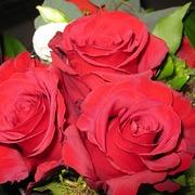 roses-116189_6401