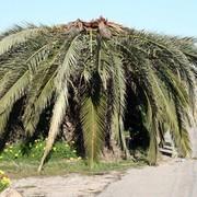 Tratamiento-picudo-rojo-palmeras-palma-mallorca-h4