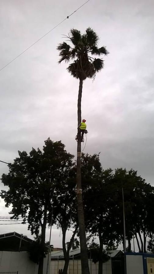 26 metros de palmera