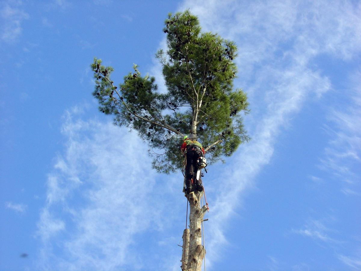 Tala controlada de un pino
