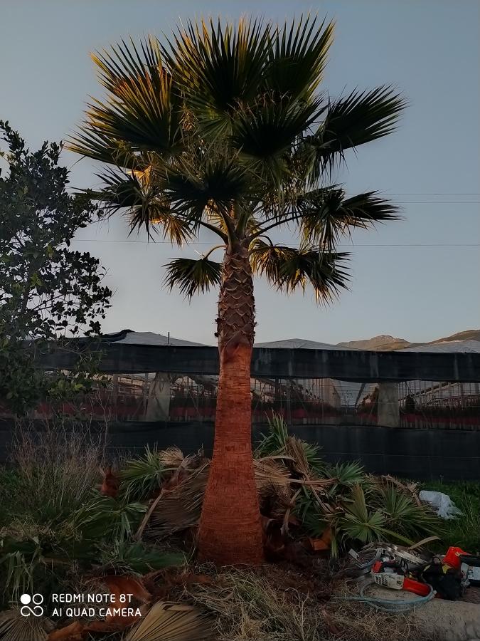 Afeitado de tronco y poda de palmera washingtonia