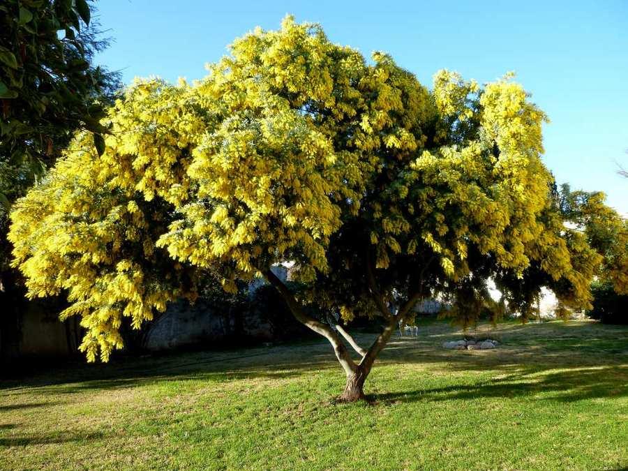 Aprende a plantar mimosas en tu jard n ideas jardineros for Arbol de fuego jardin