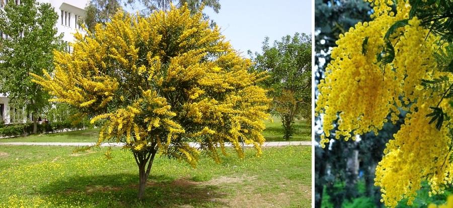 árbol mimosa