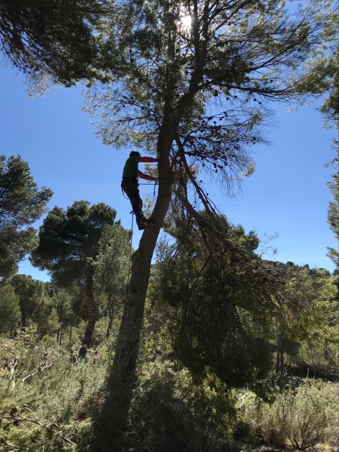 Bajada de pino