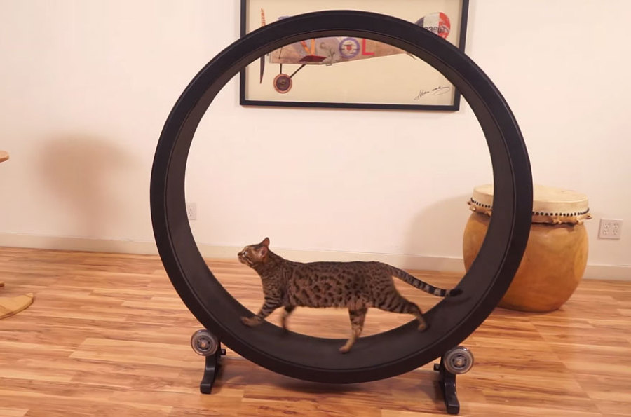 cat-wheel-treadmill-one-fast-cat-4