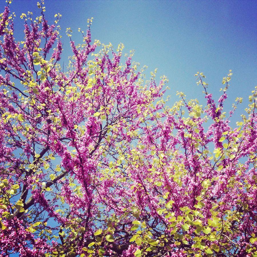 flores del cercis