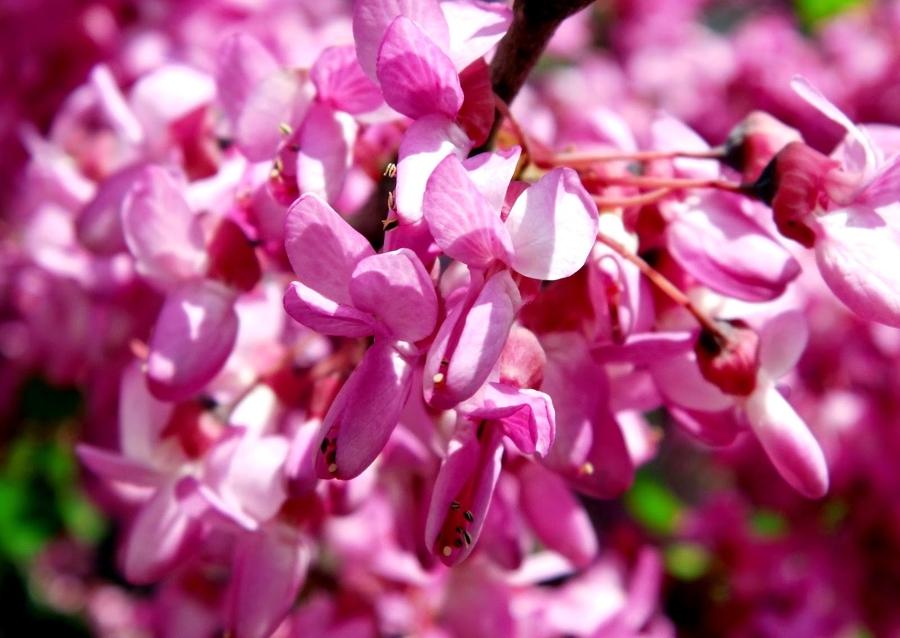 detalle de la flor del árbol del amor