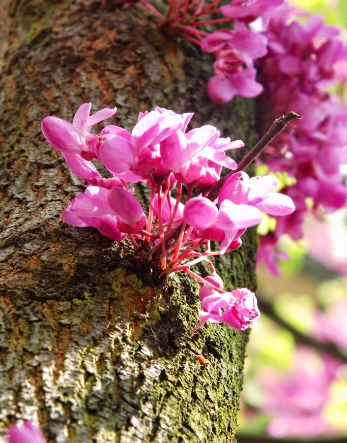 detalle de las flores que nacen en el árbol Cercis