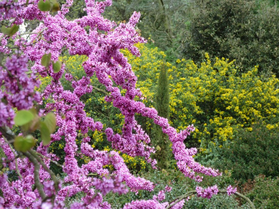 ramas florecidas del Cercis