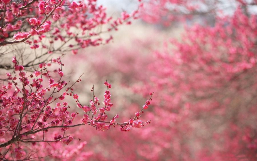 ramas cerezo japonés