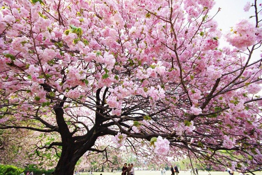 detalle cerezo japonés