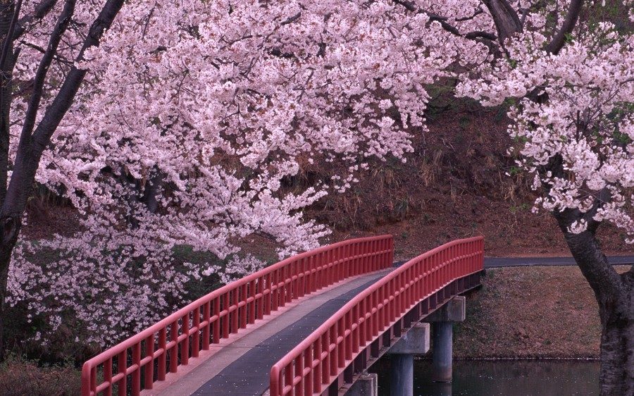 puente bajo cerezo japonés