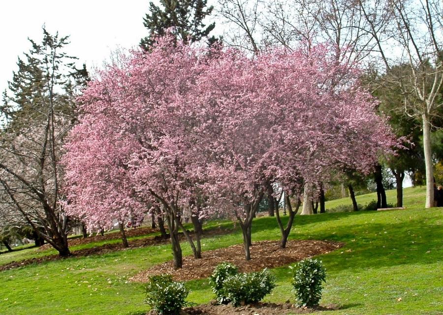 Foto ciruelo japon s de miriam mart 860681 habitissimo for Arbol ciruelo de jardin