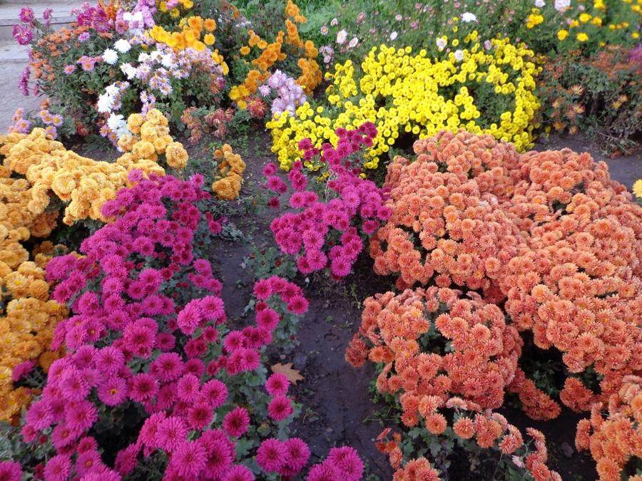 crisantemos de colores