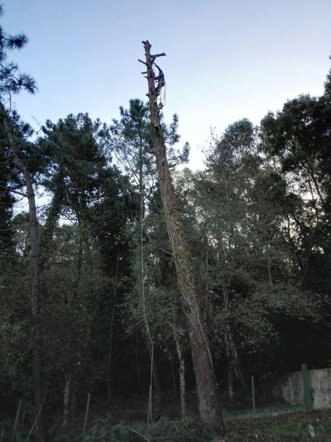 Descabezado del pino