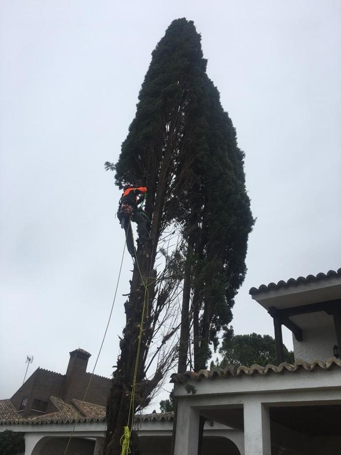 Despojando de ramas