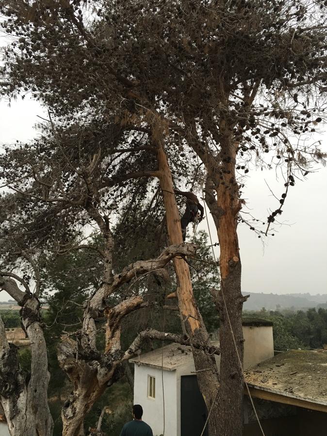 Estado del pino antes del trabajo