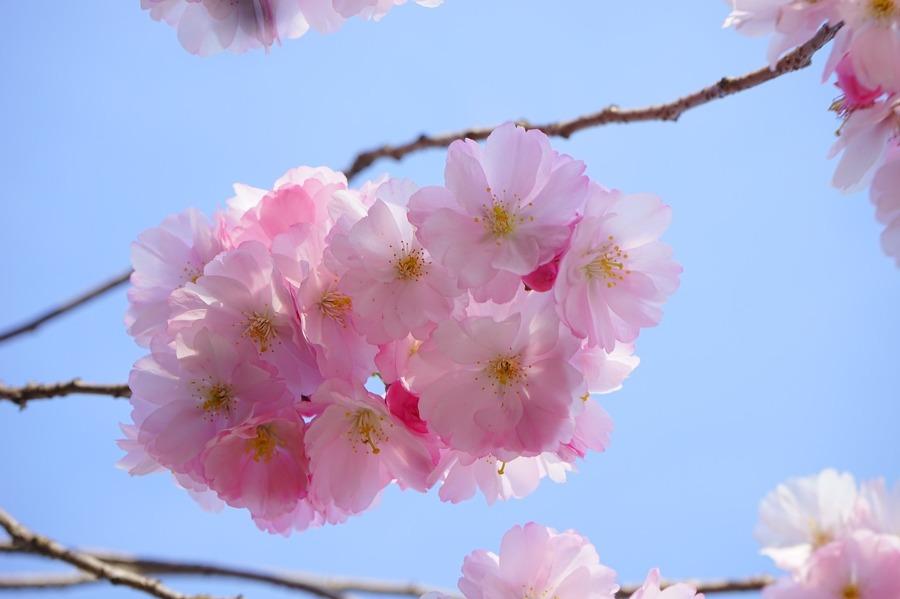flor cerezo
