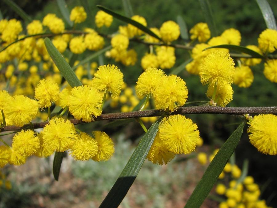 flores mimosa