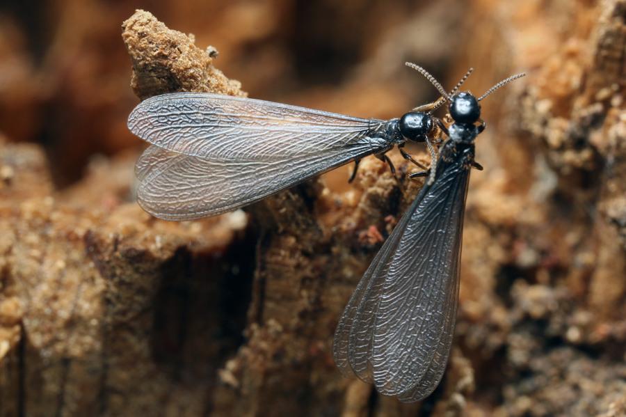 Las Termitas Aladas son una clara señal de infestación