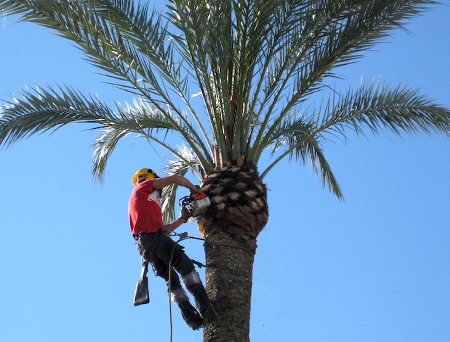 Limpieza de palmeras