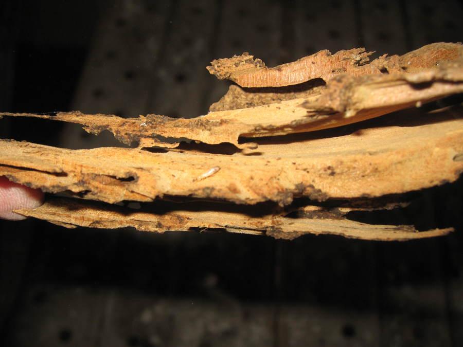 Madera desprendida con larvas