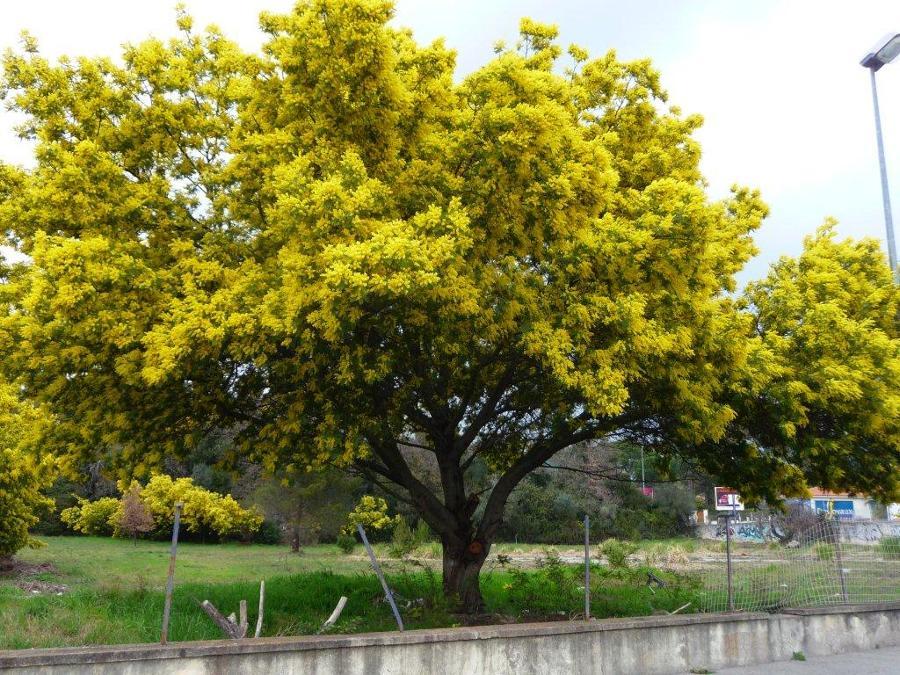 mimosa acacia