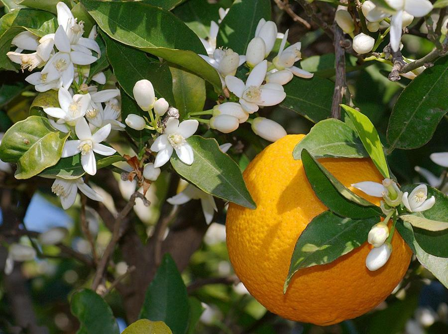 Resultado de imagen para naranjo en flor