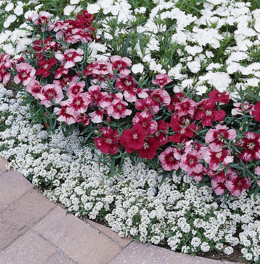 Plantas arom ticas que perfumar n tu jard n todo el a o - Plantas de exterior resistentes todo el ano ...