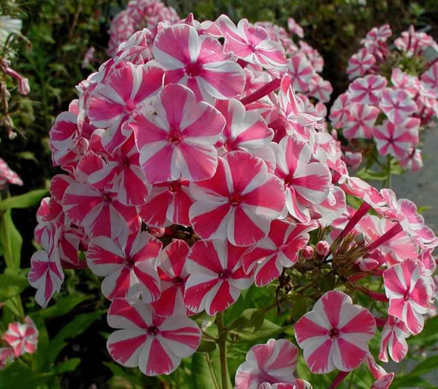 Plantas arom ticas que perfumar n tu jard n todo el a o for Plantas exterior todo el ano
